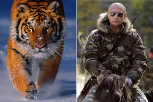 Tiger that Putin set free goes on goat killing spree